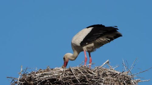 Storks, Camargue, France.Parents giving food to young birds