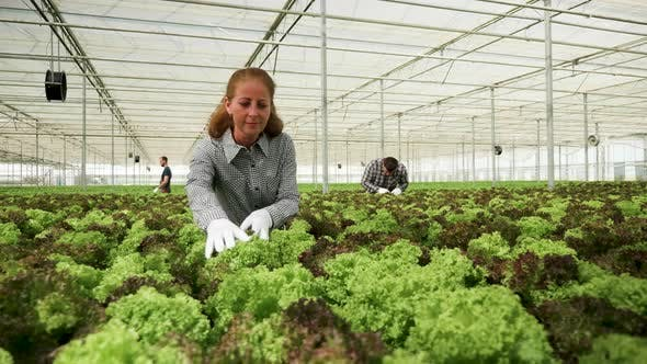 Thumbnail for Female Agronomist Working in a Greenhouse with Organic Green Salad