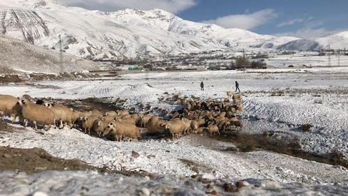 Sheeps In Wintertime