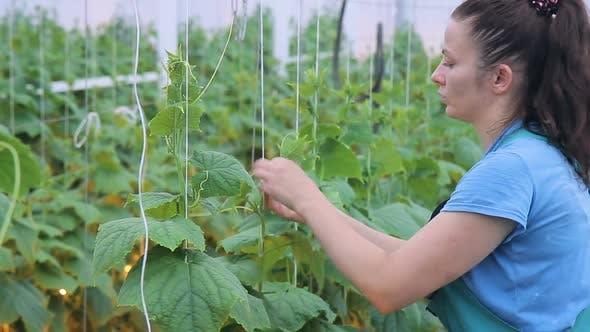 Thumbnail for Woman Ties Up To the Cucumber Trellis and Cuts Tendrils of the Plant