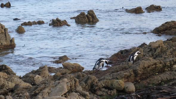 Penguins on the rocks and in the sea at Betty's Bay