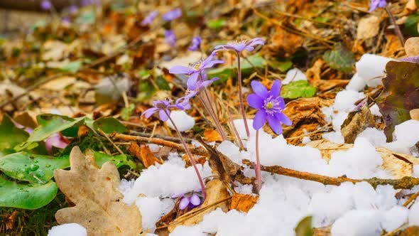 Thumbnail for Spring Flowers and Melting Snow