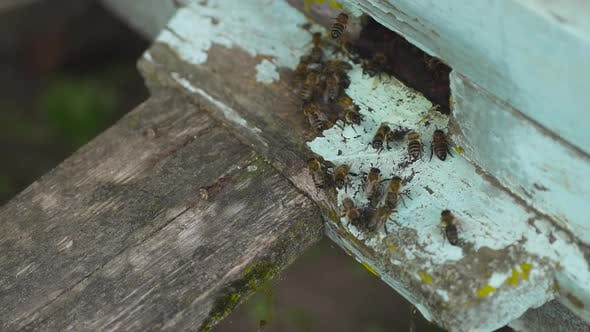 Honey Bees Fly Into Their Wooden Beehive. Waving Wings Carry Flower's Nectar.