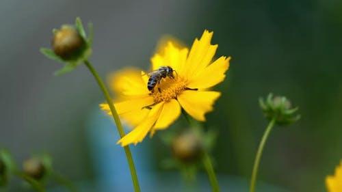 Nice summer flowers. Coreopsis