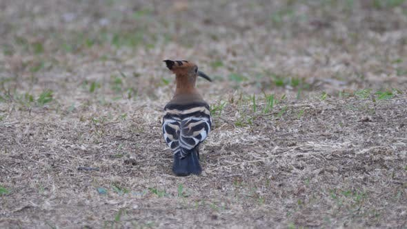 Thumbnail for Hoopoes on the groundsearching for worms