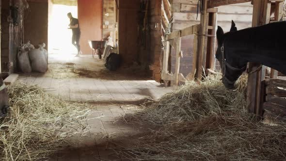 Panoramic Shot of a Private Stable. Horses Chew Food, a Young Groom Girl Sweeps the Floor with a