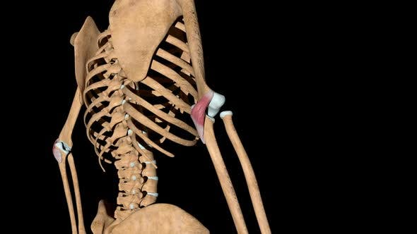 Thumbnail for Anconeus Muscles On Skeleton