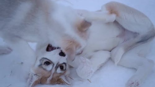 Siberian husky puppies playing in the snow, in Lapland, Finland