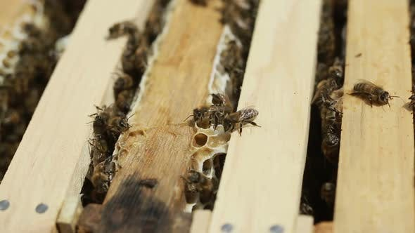 Thumbnail for Bees Are Working On A Beeswax In A Bee Hive