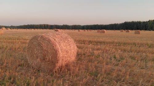Rolls of Straw Lying on Stubble