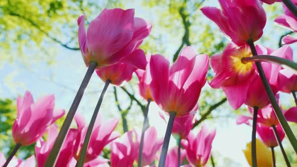 Thumbnail for Large Pink Tulips with a Yellow Core Grow with a Green Garden