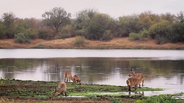 Thumbnail for Common waterbuck in Kruger National park, South Africa