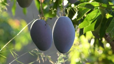 Mangoes Hanging in a Branch of a Mango Tree