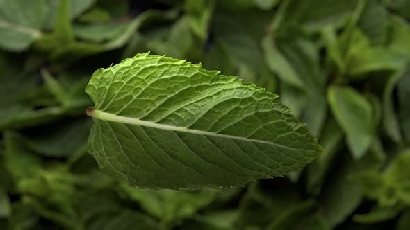 Top View of the Mint Leaf Falling Toward To Mint Leafs Background