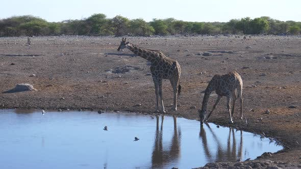 Thumbnail for Giraffe getting frightened while drinking from a pond