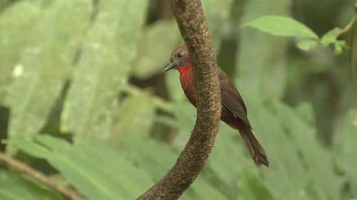 Red-throated Ant Tanager Male Lone Perched Looking Around in Costa Rica