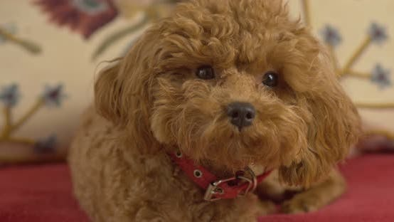Thumbnail for A dog, a poodle breed, sits on a couch and looks.