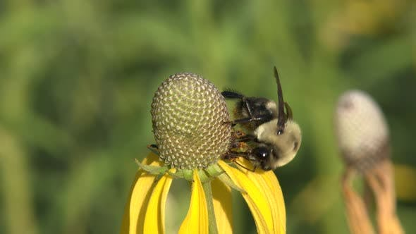 Bee Adult Lone Eating Feeding in Summer Pollination in Nebraska