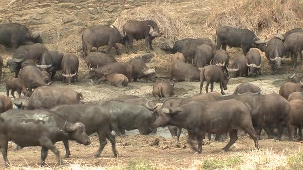 Thumbnail for Cape Buffalo Adult Immature Herd Many Bathing Dry Season in South Africa