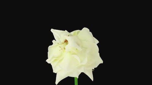 Time-lapse of dying Eskimo rose
