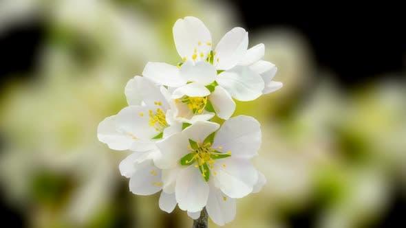 Thumbnail for Almond Blossom Timelapse on Black