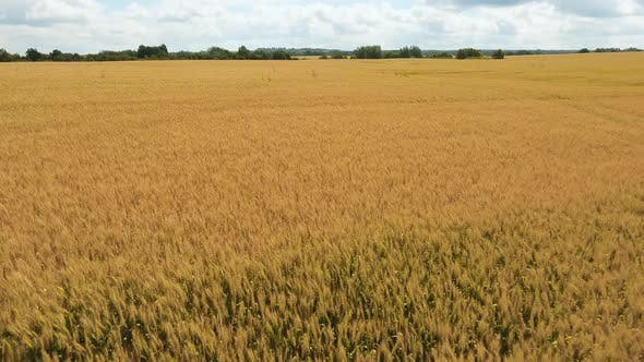 Thumbnail for Aerial View of Golden Wheat field.Aerial Video.