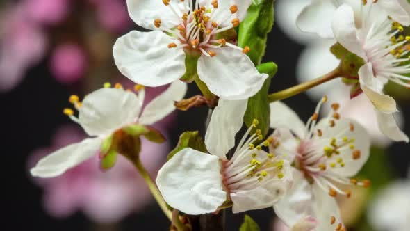 Thumbnail for Wild Plum Flower Blossoming on Black