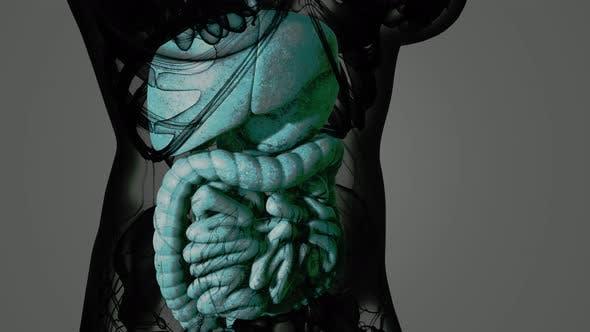 Detailed Human Digestive System Anatomy