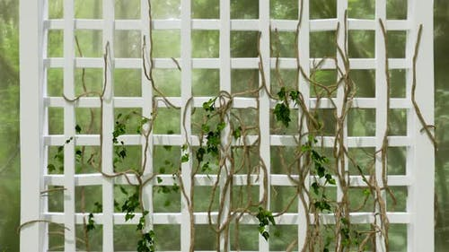 Ivy Growing Time-Lapse