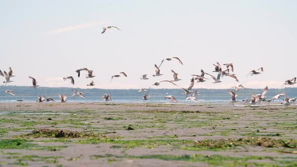 Thumbnail for Pacific Northwest Beach Seagulls Background