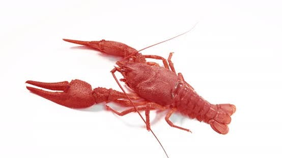 Thumbnail for Big Alive Crayfish on a White Background