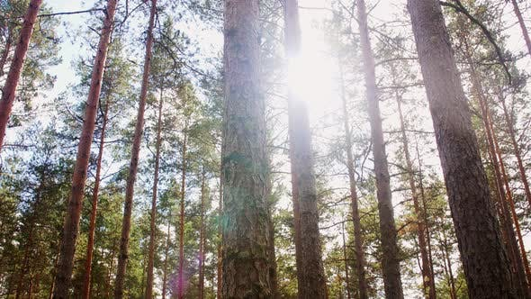 Thumbnail for Natural Scene of Pine Forest or Woods