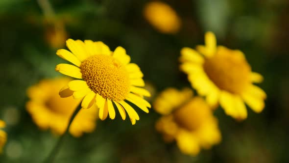 Thumbnail for Shallow DOF golden marguerite  plant swings on wind 4K 2160p 30fps UltraHD footage - Yellow Anthemis