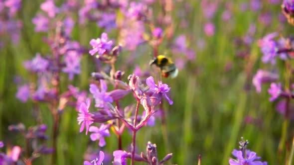 Thumbnail for Bumblebee