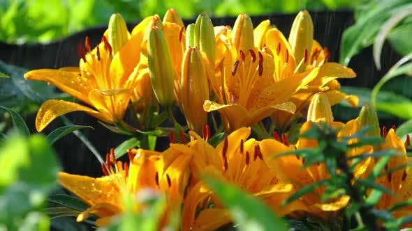 Cover Image for Yellow Lily Flower Under Rain
