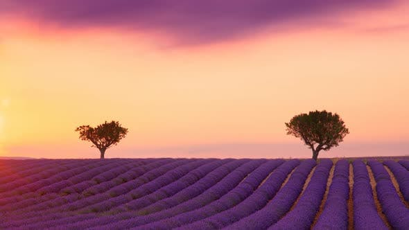 Thumbnail for Cinemagraph of purple lavender field at sunset