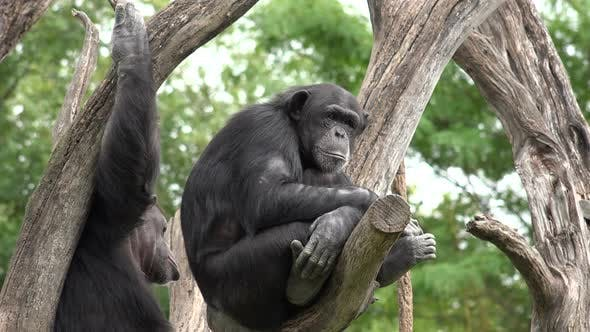 Chimpanzee Adult Pair Resting in Summer Tree Branches
