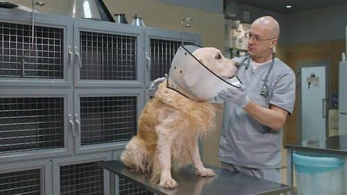 Veterinarian Wearing E-Collar On Golden Retriever