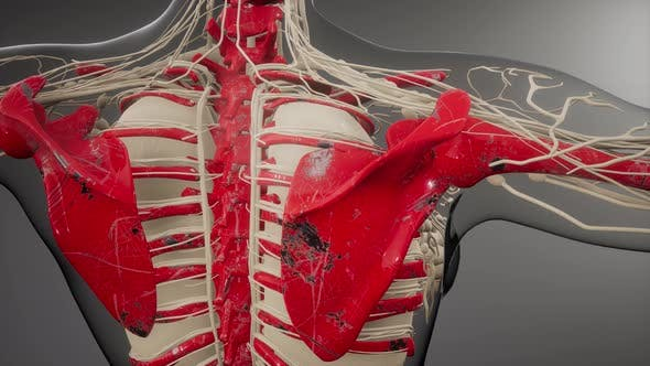 Cover Image for Transparent Human Body with Visible Bones