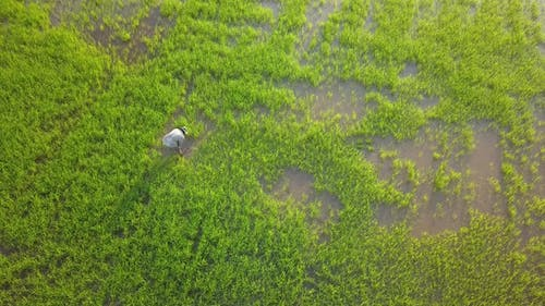 Aerial view farmer planting rice paddy field