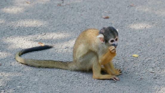Thumbnail for Squirrel Monkey
