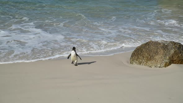 Thumbnail for Penguins in Cape Town