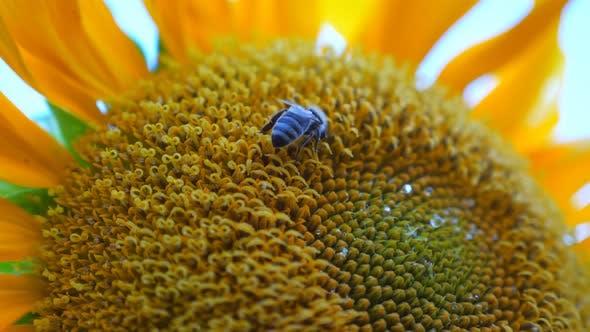 Biene sammelt Nektar aus gereifter Sonnenblume im Feld