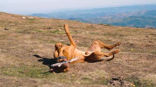 Hungarian Vizsla Dog Playing with Wooden Stick at Mountain Peak in Sunny Day