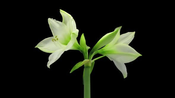 Thumbnail for Growing, opening and rotating white amaryllis flower