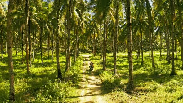 Cover Image for Aerial View of Young Couple of Tourists Riding a Motorbike on Among Coconut Palms in Siargao
