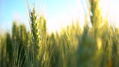 Green wheat field. Wheat field. Ears of raw wheat close up. Harvest season