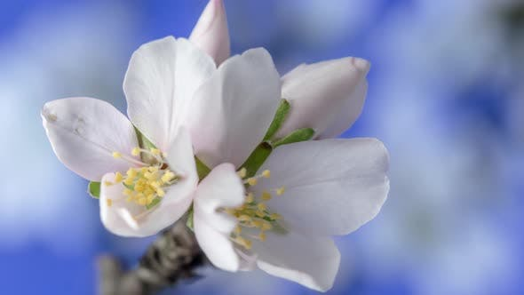 Thumbnail for Almond Blossom Timelapse on Blue 2