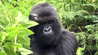 Huge Mountain Gorilla in the Forest