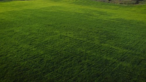 Aerial View of Green Cornfield